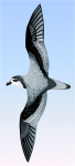 Mottled petrel