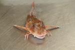 Rode poon - Chelidonichthys lucerna