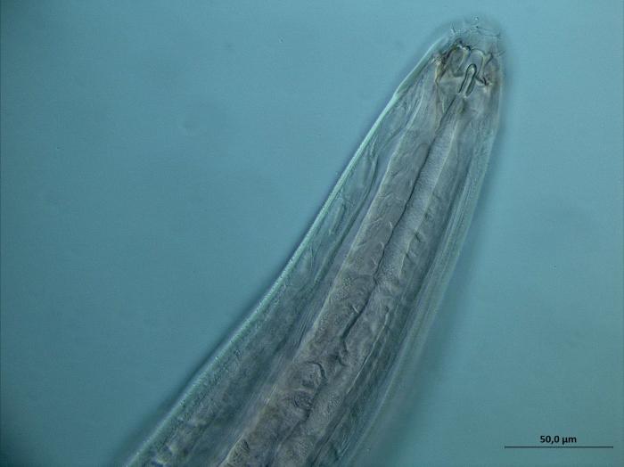 Paramesacanthion sp.