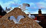 Shell Gulls