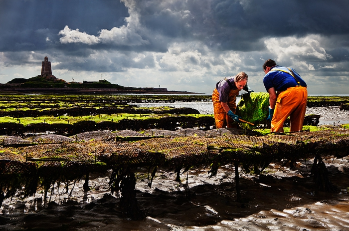 Oystermen tending their oysters at low tide in St. Vaast la Hougue, which is situated in the cradle of Normandy's oyster industry