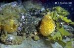 Cnemidocarpa verrucosa and others