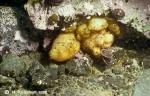 Cnemidocarpa verrucosa among others in a rock niche.