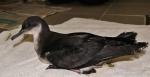 Noordse pijlstormvogel (Puffinus puffinus)