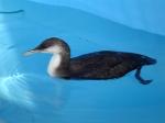 Parelduiker (Gavia arctica)