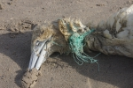Visdraad bij Jan-van-gent (strand Raversijde)