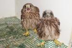 Roofvogels & uilen