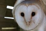 Kerkuil (Tyto alba)