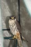 Boomvalk (Falco subbuteo)
