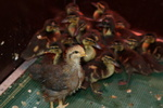 Wilde eend (Anas platyrynchos)