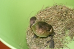 Dodaars (Tachybaptis ruficollis)