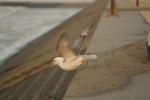 Vrijlating Noordse stormvogel