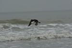 Vrijlating Grote zee-eend