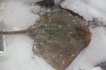 Kleinoogrog Raja microocellata