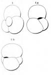 Globigerina globularis d'Orbigny in Fornasini, 1903, author: Le Coze, Fran�ois