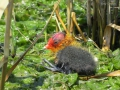 Eurasian Coot chick.