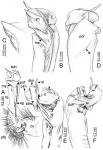 DesmoxytesdesSrisonchai et al. 2016(paratype) – right gonopod (modified fromSrisonchai et al. 2016).