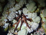 Heterocentrotus mamillatus, Suil Island, Red Sea