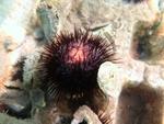Paracentrotus lividus (female)