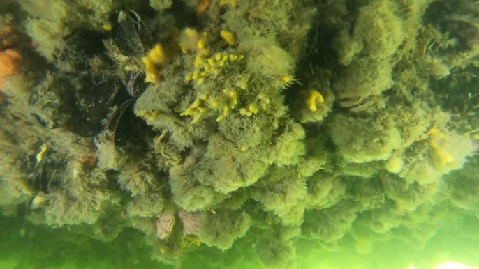 Gewone slingerzakpijp Botrylloides violaceus en Onverwacht mosdiertje Tricellaria inopinata