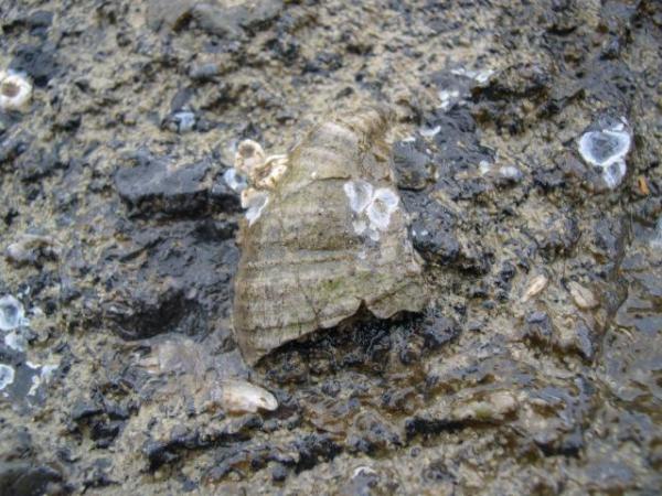 fossiele schelp