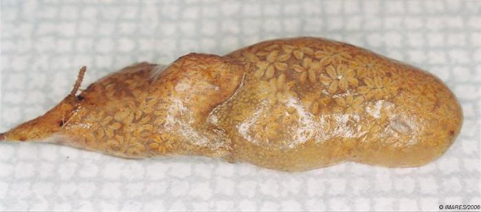 Botryllus sp.