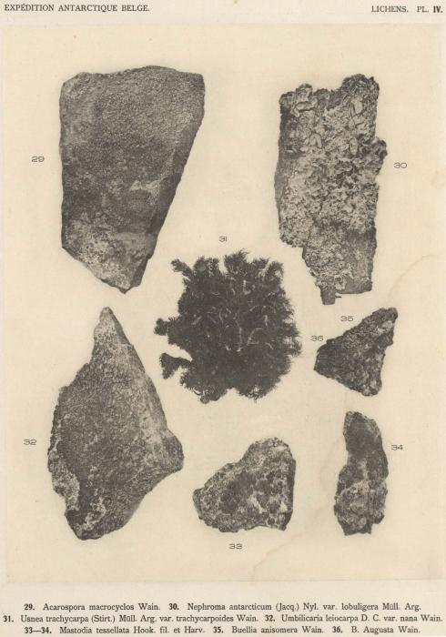 Wainio (1903, pl. 4)