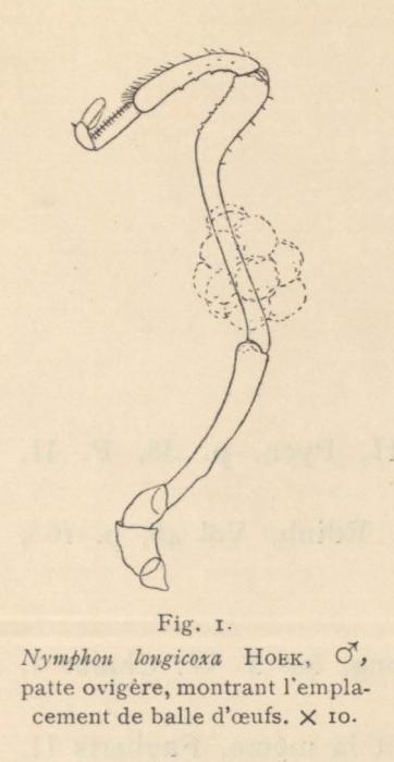 Giltay (1934, fig. 01)
