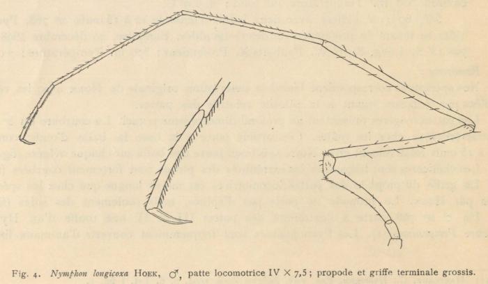 Giltay (1934, fig. 04)