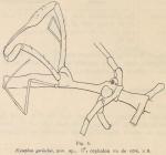 Giltay (1934, fig. 05)