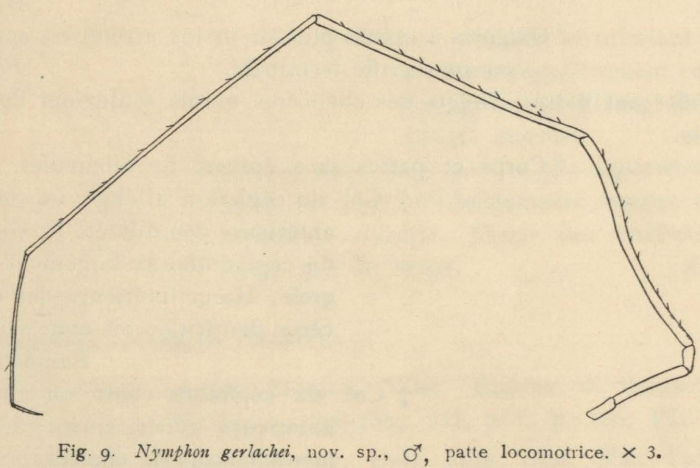 Giltay (1934, fig. 09)