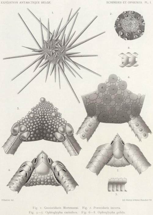 Koehler (1901, pl. 1)