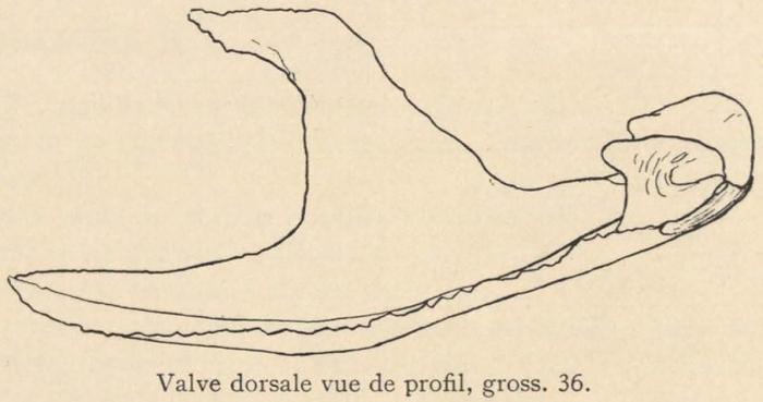 Joubin (1901, fig. 1)