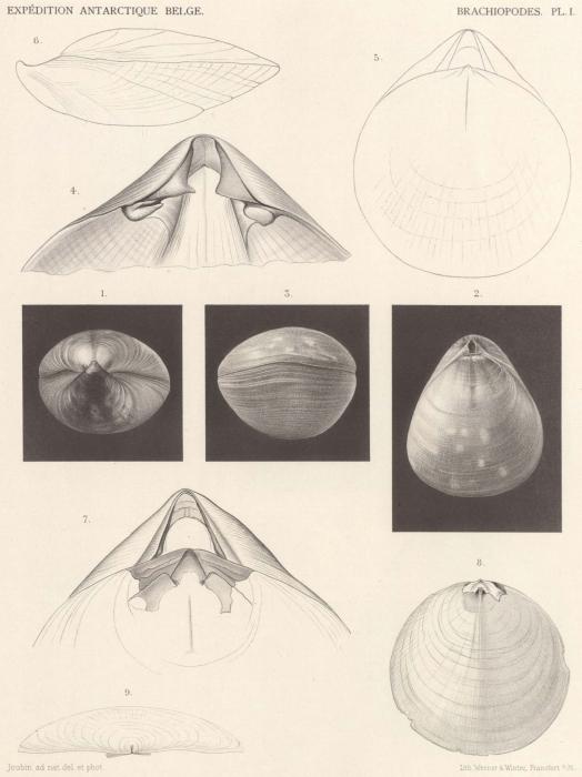 Joubin (1901, pl. 1)