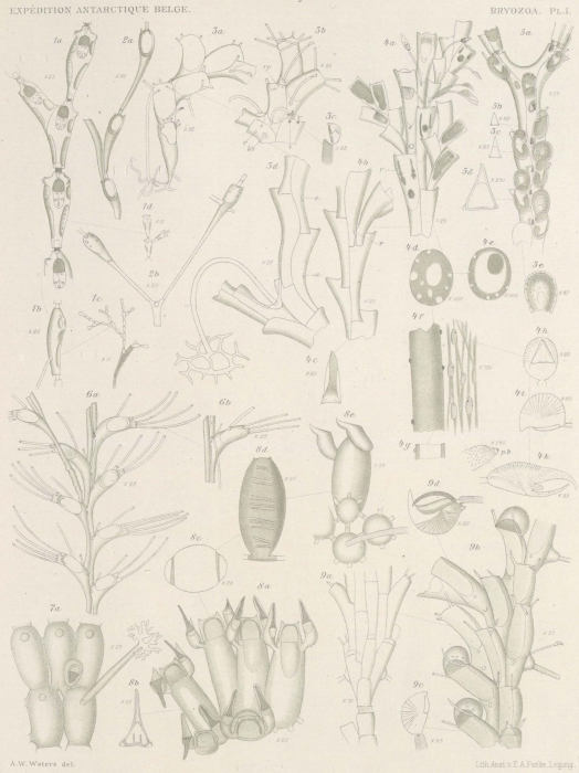 Waters (1904, pl. 1)