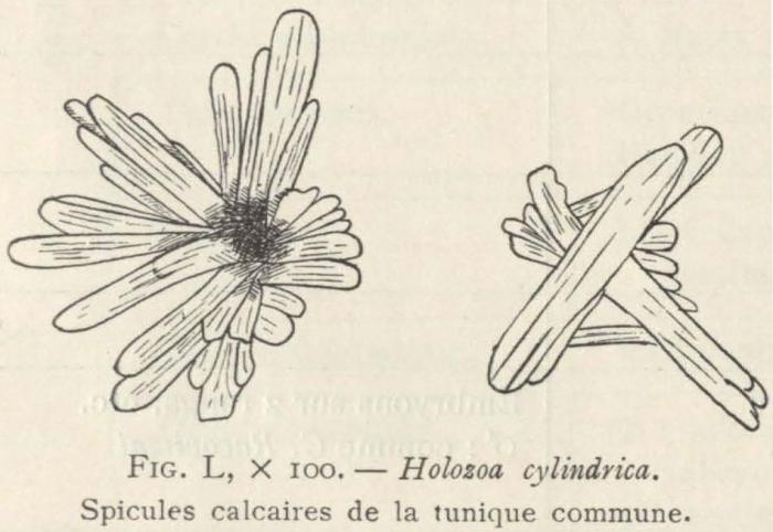 Van Beneden; de Selys Longchamps (1913, fig. L)