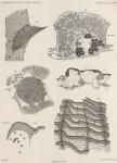 Van Beneden; de Selys Longchamps (1913, pl. 08)(1)