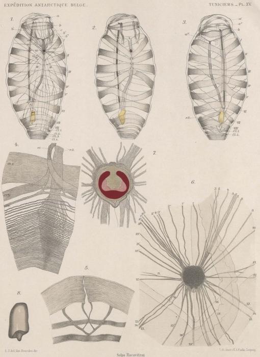 Van Beneden; de Selys Longchamps (1913, pl. 15)