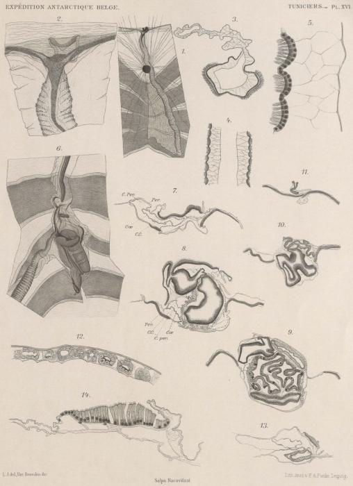Van Beneden; de Selys Longchamps (1913, pl. 16)