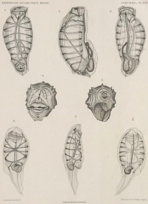 Van Beneden; de Selys Longchamps (1913, pl. 17)