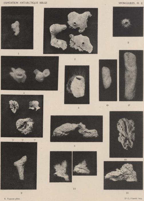 Topsent (1902, pl. 2)