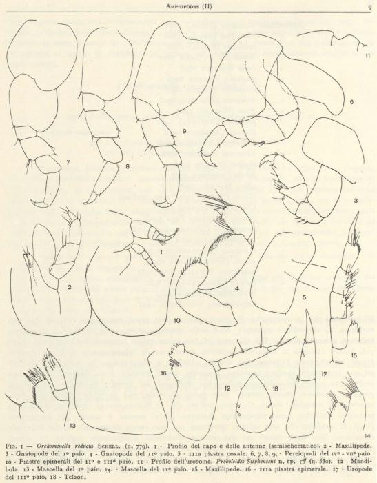 Ruffo (1949, fig. 01)