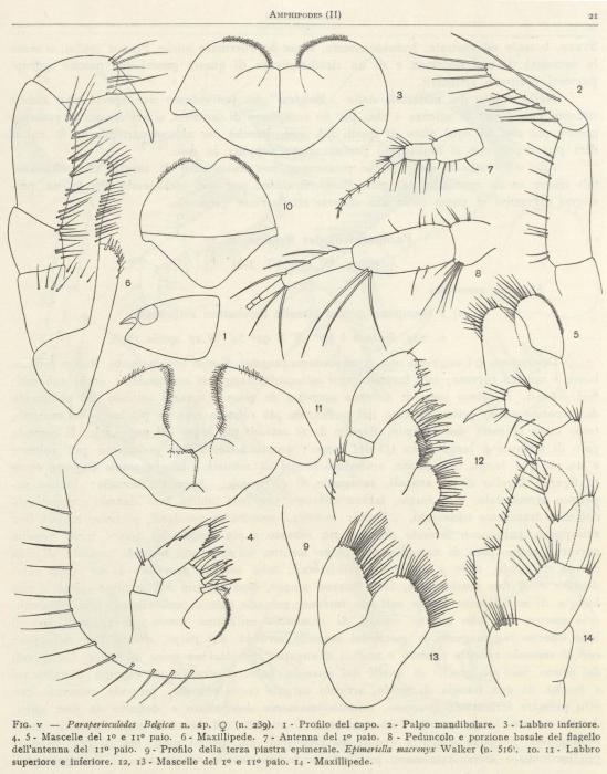 Ruffo (1949, fig. 05)