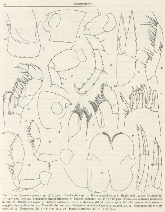 Ruffo (1949, fig. 14)