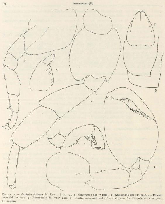 Ruffo (1949, fig. 18)