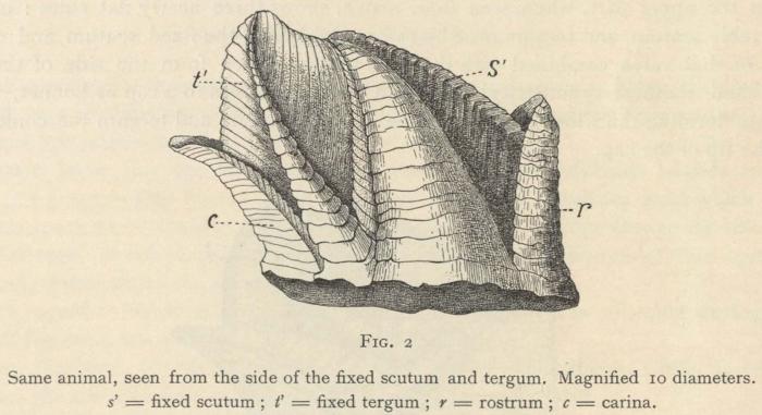 Hoek (1907, fig. 2)