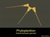 Asterionellopsis glacialis