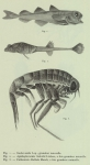 Schorpioenvissen