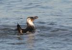 Sea & Coastal birds