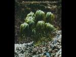 Postelsia palmaeformis, author: University of Alberta, A. Richard Palmer